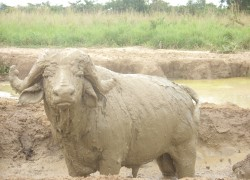 Image: Buffalo in Murchison mud